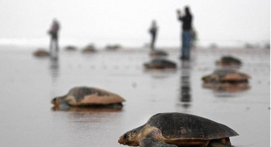 Chennai Turtle Walk, Chennai